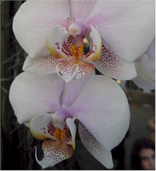 spotted phal