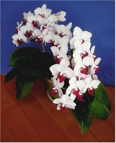 Phalaenopsis Care Phalaenopsis Orchid Care I Fertilizer
