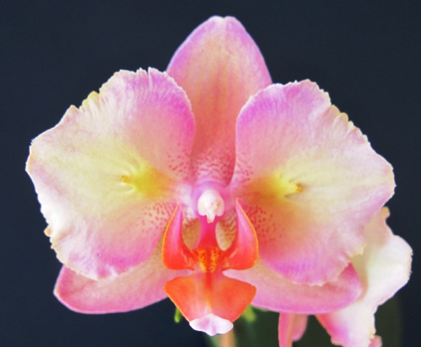 how to take care phalaenopsis orchid