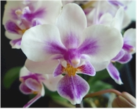 phal brother spring dancer